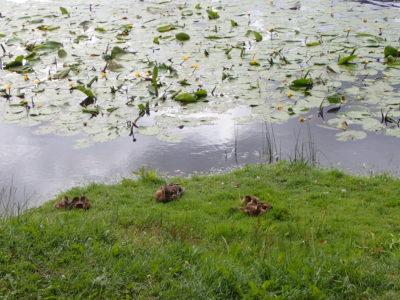Šest malých káčátek s maminou na Māras dīķis